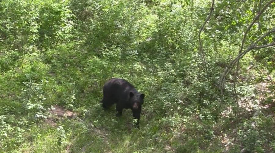 spring-bear-hunt
